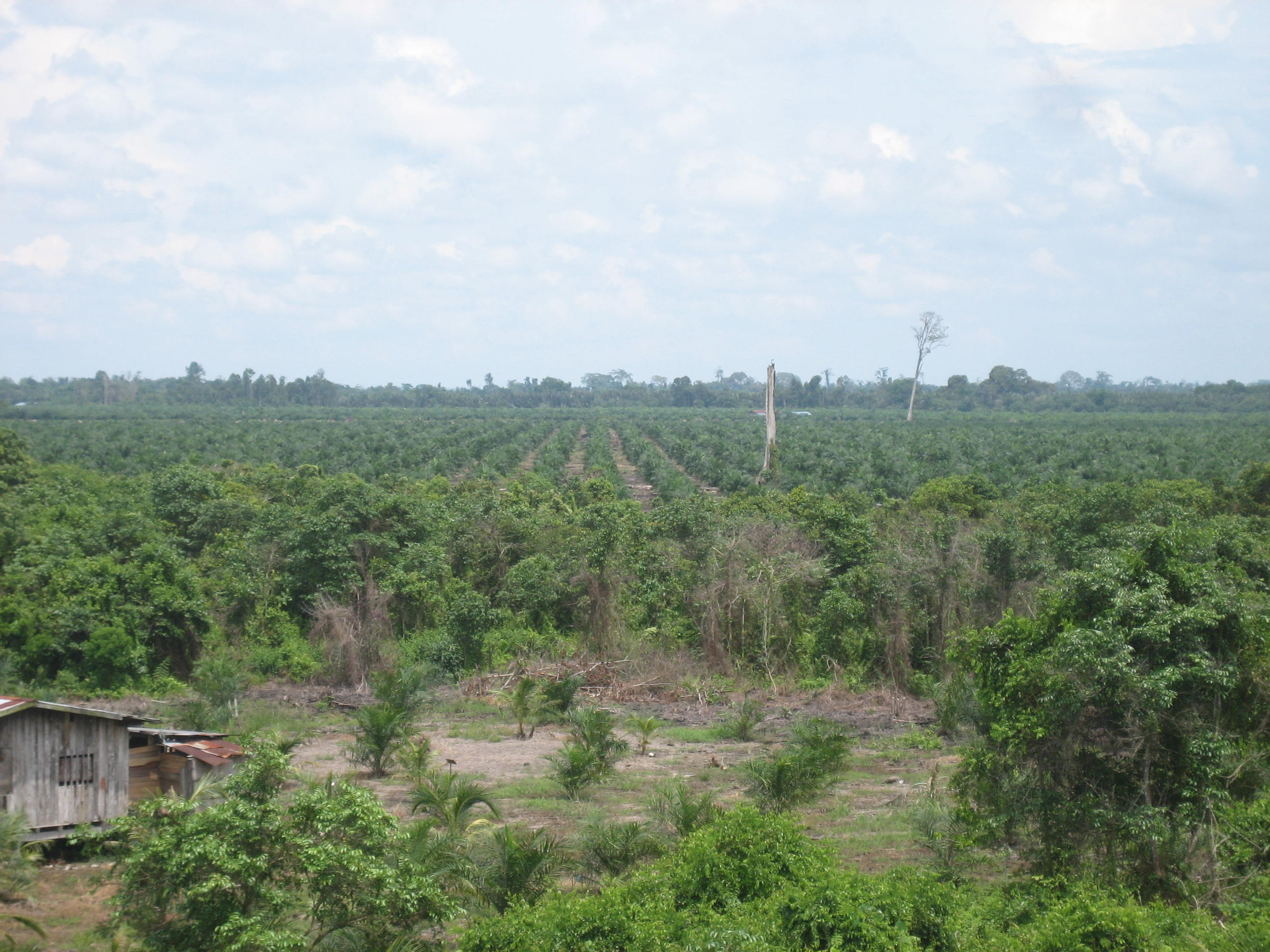 Peatland area converted into oil palm plantation in Sarawak