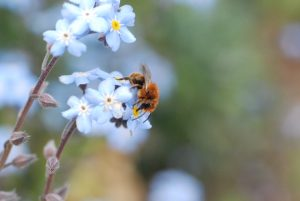 Bee visiting forget-me-not