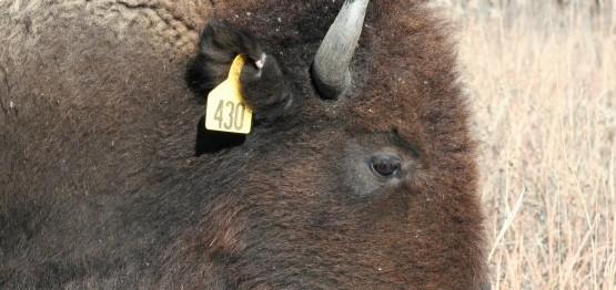 Bison at Konza Prairie Biological Station helping to spread seeds across the prairie. Source: Joe Craine http://wildplantspost.blogspot.co.uk